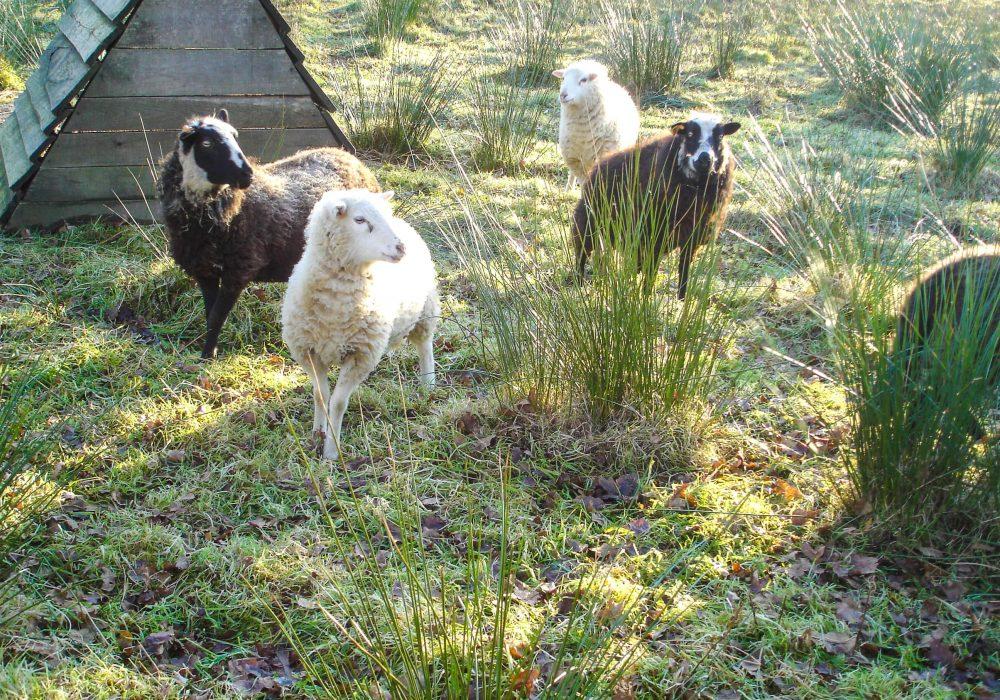 Moutons des Landes de Bretagne